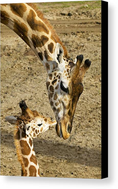 Mother Giraffe Baby Kiss Kissing Canvas Print featuring the photograph Mother Giraffe With Her Baby by Garry Gay