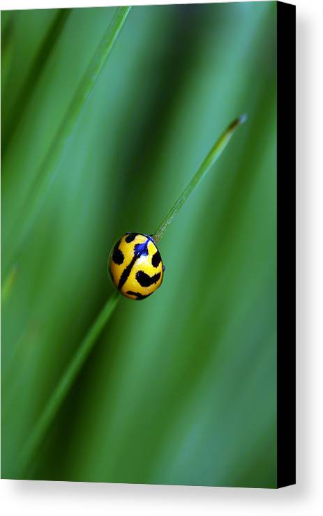 Lady Beetle Canvas Print featuring the photograph Nature's Tightrope by Lesley Smitheringale