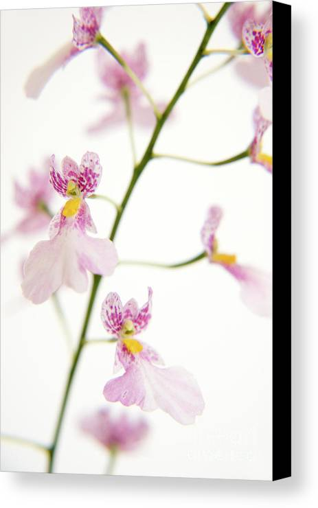 Flowers Canvas Print featuring the painting Oncidium Orchid Flowers by Julia Hiebaum
