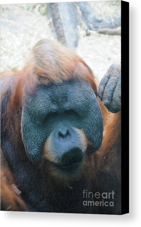 Orangutan Canvas Print featuring the photograph Orangutan Kiss by Lana Raffensperger