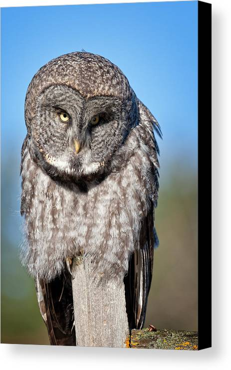 Owl Canvas Print featuring the photograph Owl 7 by Peter Olsen