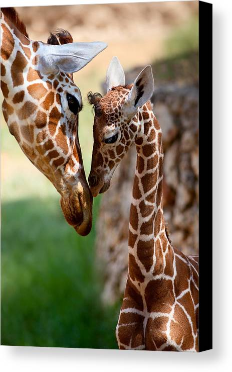 Giraffe Canvas Print featuring the photograph Parent-child Relationship by Yuri Peress