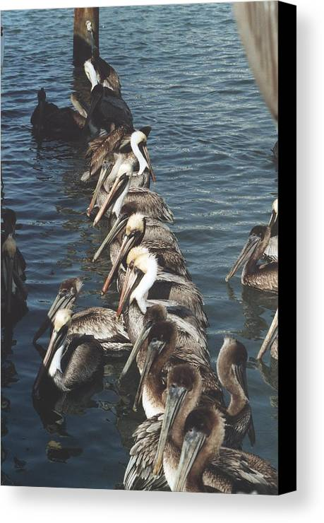 Birds Canvas Print featuring the photograph Pelican Line by Wendell Baggett