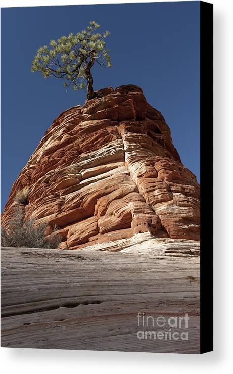 Pinyon Pine Canvas Print featuring the photograph Pine Tree On Sandstone by Sandra Bronstein