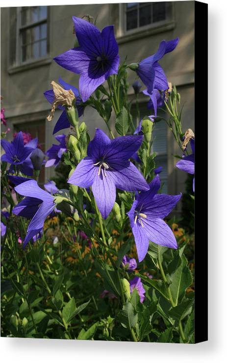 Flowers Canvas Print featuring the photograph Purple Stars by Alan Rutherford