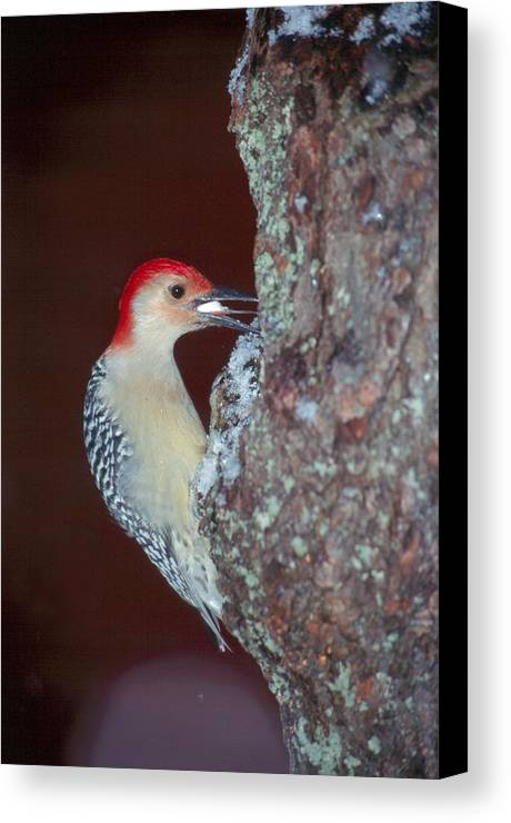 Bird Canvas Print featuring the photograph Red-bellied Woodpecker by Raju Alagawadi