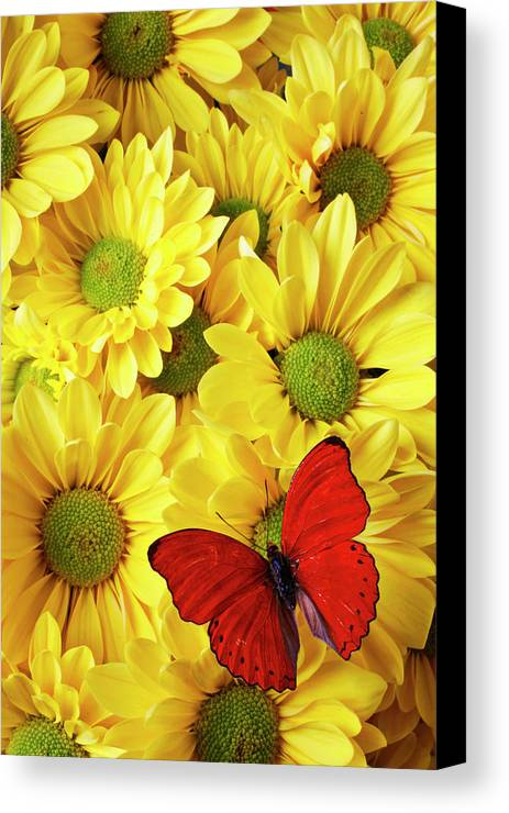 Red Butterfly Yellow Mums Flowers Canvas Print featuring the photograph Red Butterfly On Yellow Mums by Garry Gay