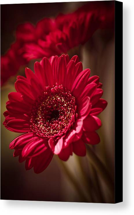 Atmospheric Canvas Print featuring the photograph Red Gerbera by Maria Heyens