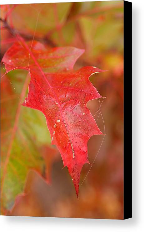 Oak Leaves Canvas Print featuring the photograph Red Silk by Linda McRae