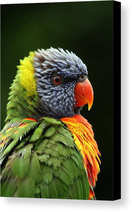 Rainbow Lorikeet Canvas Print featuring the photograph Reflecting In The Rain by Lesley Smitheringale