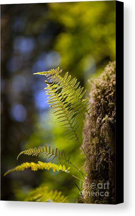 Forest Canvas Print featuring the photograph Renewal Ferns by Mike Reid