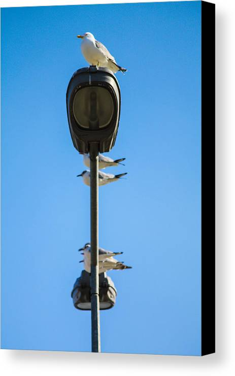 Seagulls Canvas Print featuring the photograph Resting by Borhan Alzibi