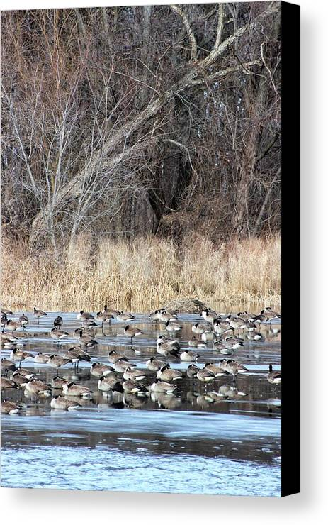 Canadian Geese Canvas Print featuring the photograph Resting Canadian Geese by Lew Wescott