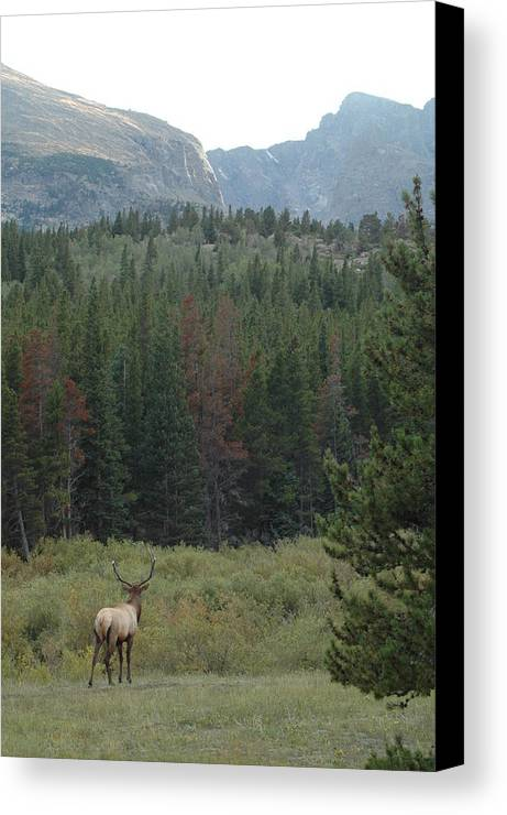 Elk Canvas Print featuring the photograph Rocky Mountain Elk by Kathy Schumann