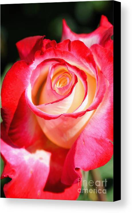 Rose Canvas Print featuring the photograph Rose by Dennis Hammer