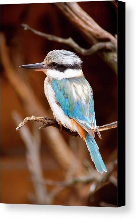 Kingfisher Canvas Print featuring the photograph Sacred Kingfisher by Mike Dawson