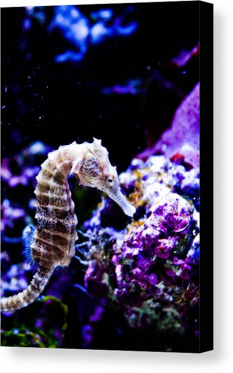 Seahorse Canvas Print featuring the photograph Sea Horse by Brenton Woodruff