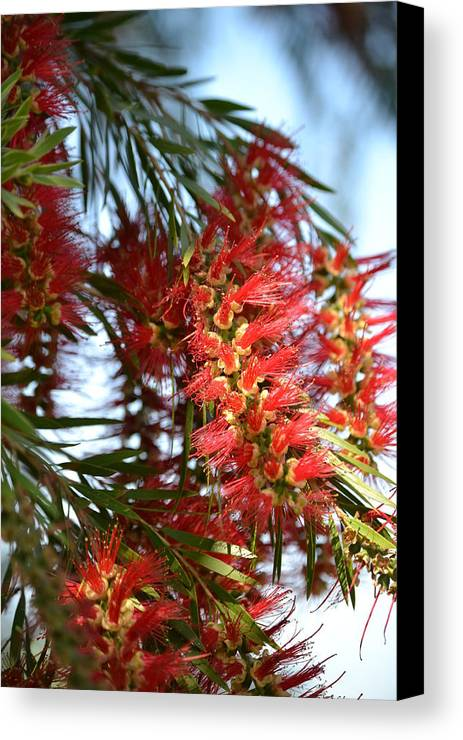 Callistemon Canvas Print featuring the photograph Seeing Red by Denise Jakob