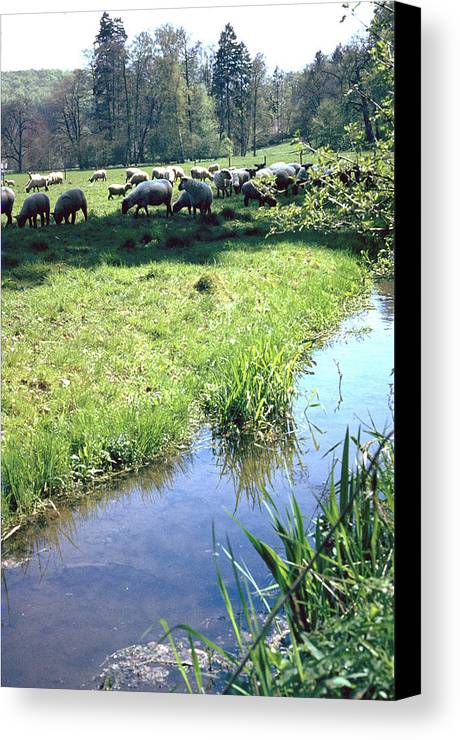 Sheep Canvas Print featuring the photograph Sheep by Flavia Westerwelle