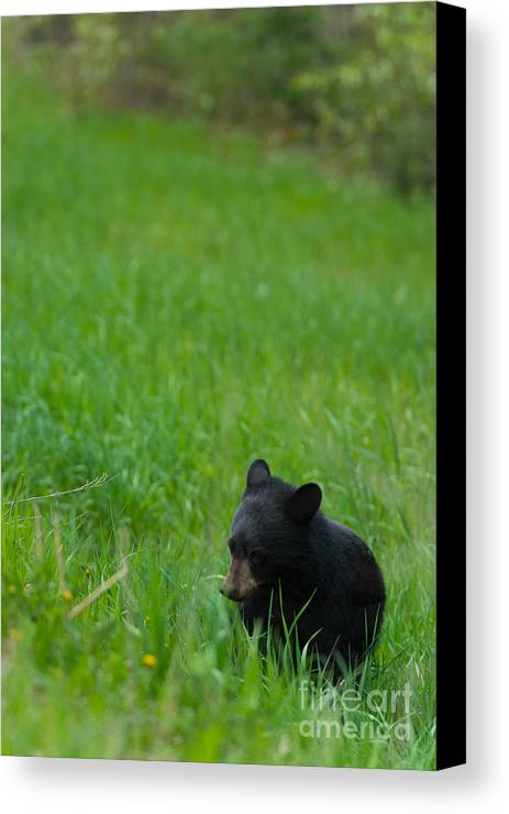 Black Bear Canvas Print featuring the photograph Shyness by Birches Photography