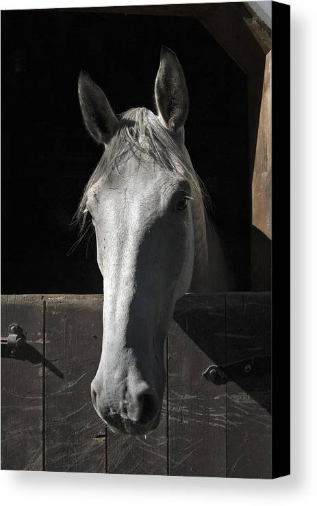 Horse Canvas Print featuring the photograph Silver by Jack Goldberg