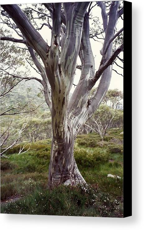 Snowgum Tree Bush Forrest Snowy Mountains Landscape Treescape Canvas Print featuring the photograph Snowgum Like Whirling Dervish by Adrianne Wood