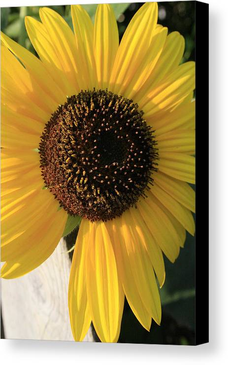 Flowers Canvas Print featuring the photograph Son Of A Sun by Alan Rutherford