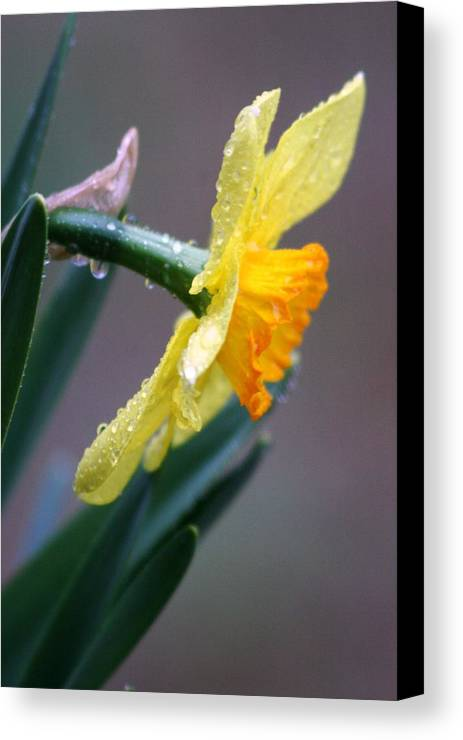 Daffodil Springtime Flower Rain Canvas Print featuring the photograph Spring Rain by Linda Russell
