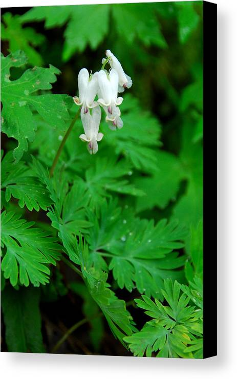 Wildflower Canvas Print featuring the photograph Squirrel Corn by Alan Lenk