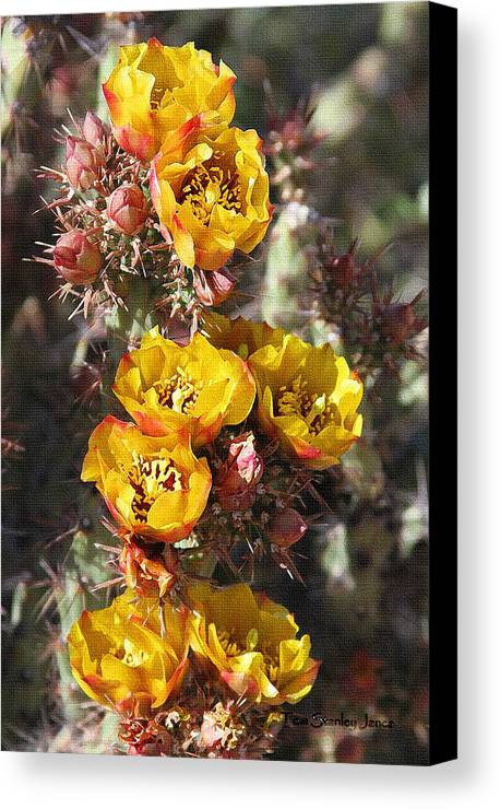 Staghorn Cholla Blossoms Canvas Print featuring the photograph Staghorn Cholla Blossoms by Tom Janca