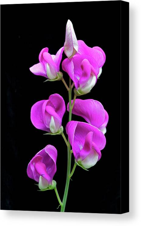 Sweet Pea Canvas Print featuring the photograph Sweet Pea by George Sanquist
