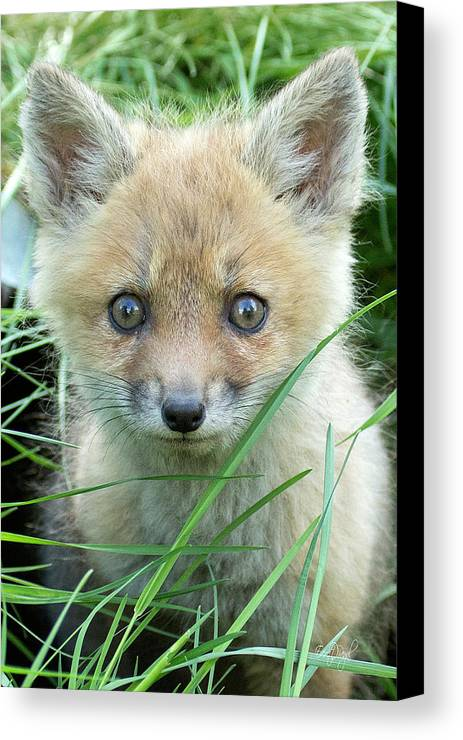 Fox Canvas Print featuring the photograph Take Me Home by Everet Regal