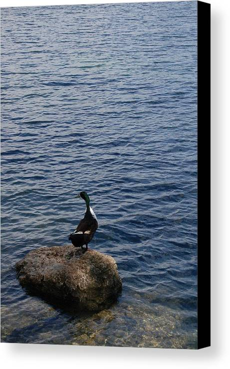 Duck Canvas Print featuring the photograph The Duck by Siobhan Yost