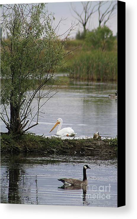 Goose Canvas Print featuring the photograph The Goose And The Pelican by Alyce Taylor