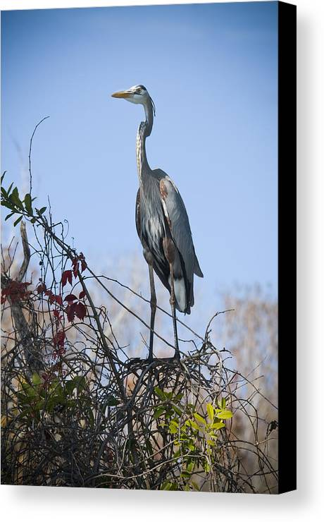 Great Blue Heron Canvas Print featuring the photograph The Heron Perch by Chad Davis