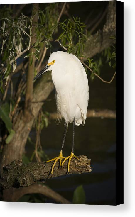 Snowy Egret Canvas Print featuring the photograph The Lonely Snowy Egret by Chad Davis