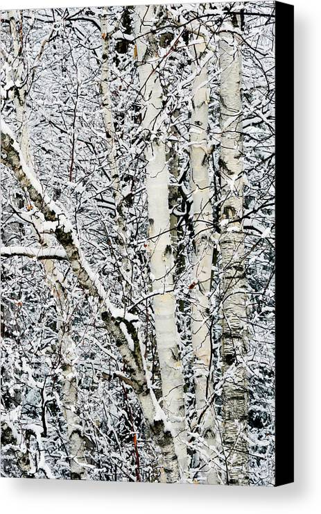 Birch Trees Canvas Print featuring the photograph Three Amigos by Bryan Shane