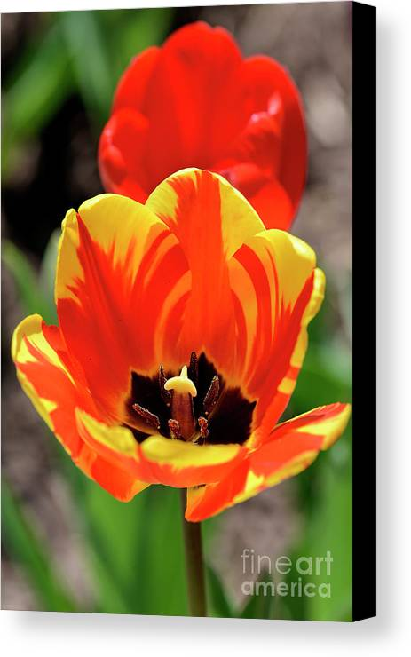 Tulip Canvas Print featuring the photograph Tulips Yellow Red by Larry Dove