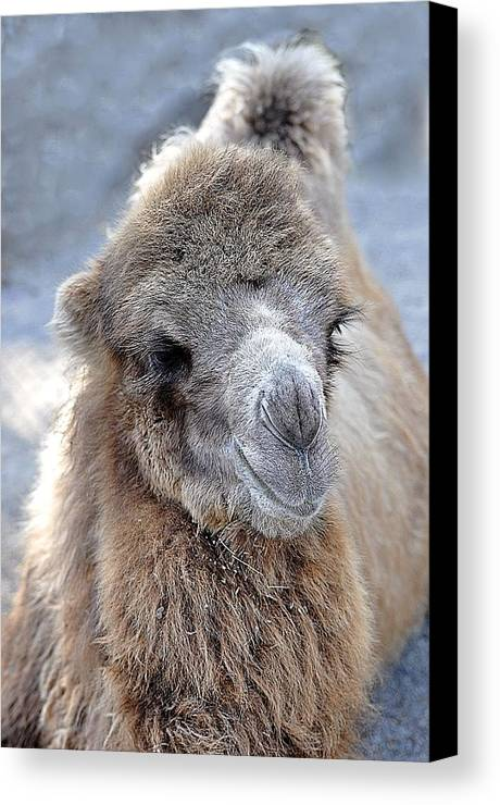 Animals Canvas Print featuring the photograph Two Lumps Please by Jan Amiss Photography