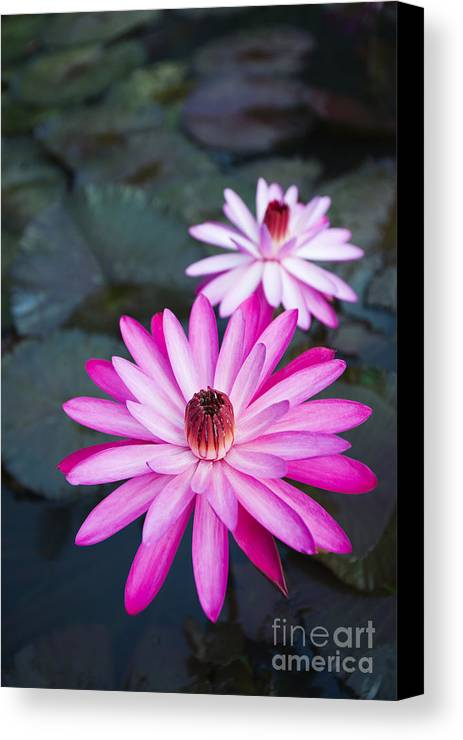 Beautiful Canvas Print featuring the photograph Vibrant Waterlilies by Dana Edmunds - Printscapes