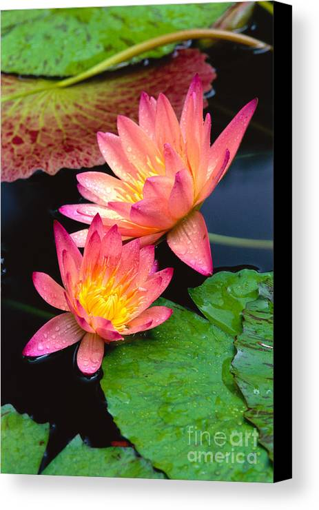 Bill Brennan Canvas Print featuring the photograph Water Lily by Bill Brennan - Printscapes