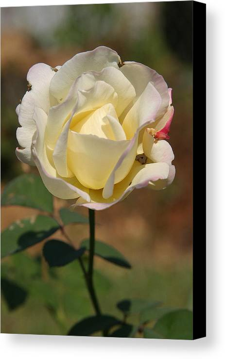 Rose Canvas Print featuring the photograph White Rose by Donald Tusa