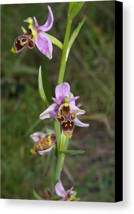 Wildflowerd Canvas Print featuring the photograph Wild Orchid by Veron Miller