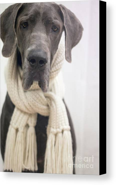 Great Dane Canvas Print featuring the photograph Winter Dog by Angela Edwards-Warburton