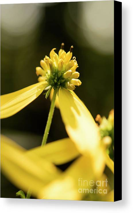 Yellow Flower Canvas Print featuring the photograph Yellow Pollinate by Michelle Himes