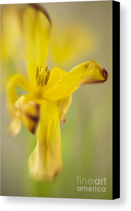 Flora Canvas Print featuring the photograph Yellow Tulip 2 by Jill Greenaway