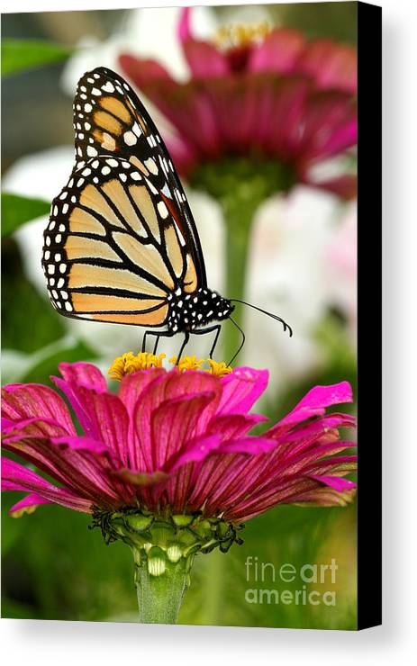 Monarch Canvas Print featuring the photograph Zinnia Rose And Monarch by Steve Augustin