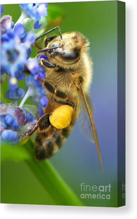 Honeybee Canvas Print featuring the photograph Honeybee On California Lilac by Sharon Talson