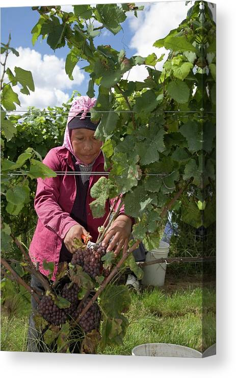 Crop Canvas Print featuring the photograph Wine Grape Harvest by Jim West