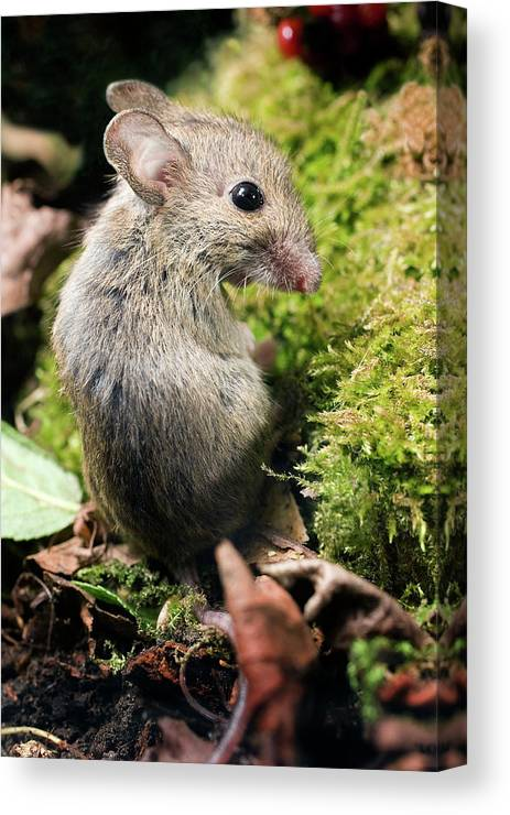 Long-tailed Field Mouse Canvas Print featuring the photograph Wood Mouse by John Devries/science Photo Library